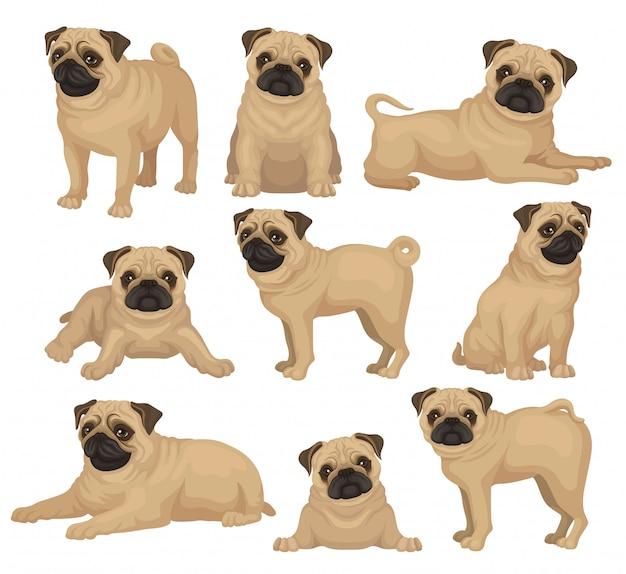 Set van pug puppy in verschillende poses. schattige speelgoedhond met korte beige vacht, gerimpelde snuit en gekrulde staart. huis huisdier. huisdier. grafisch element voor poster van dierenartskliniek of kennelclub.