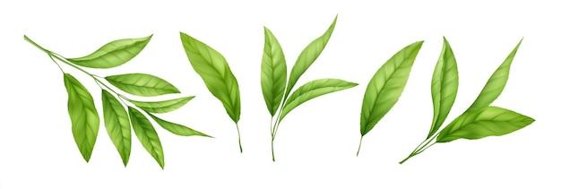 Set van realistische groene thee bladeren en spruiten geïsoleerd op een witte achtergrond. takje groene thee, theeblad. vector illustratie