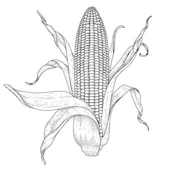 Set van rijpe maïs hand getekende illustratie