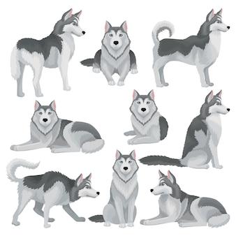 Set van siberische husky in verschillende poses. schattige huishond met grijze vacht en blauwe glanzende ogen. huis huisdier