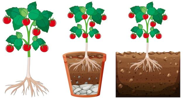 Set van tomatenplanten Premium Vector