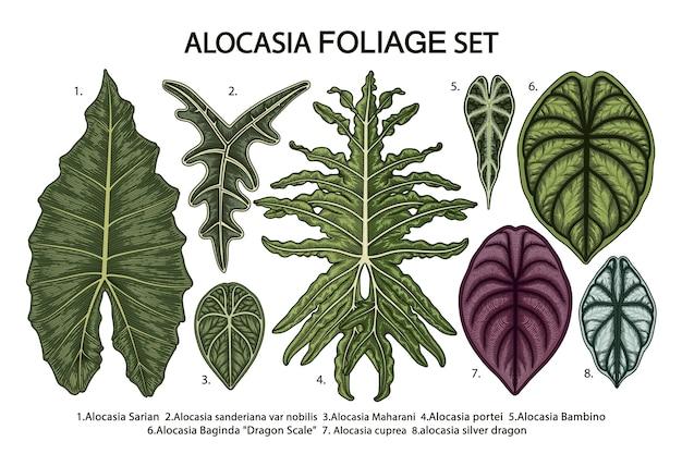 Set van tropische alocasia bladeren geïsoleerd op wit