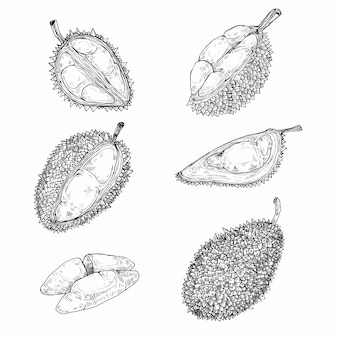 Set van vectorillustraties, iconen van een durian fruit