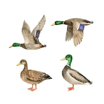 Set vector aquarel wilde vogels, ganzen en eenden