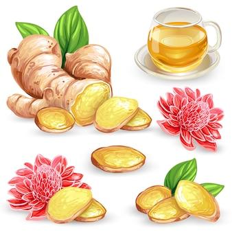 Set vector illustratie van een verse gemberwortel, gesneden, bloem en gember thee.