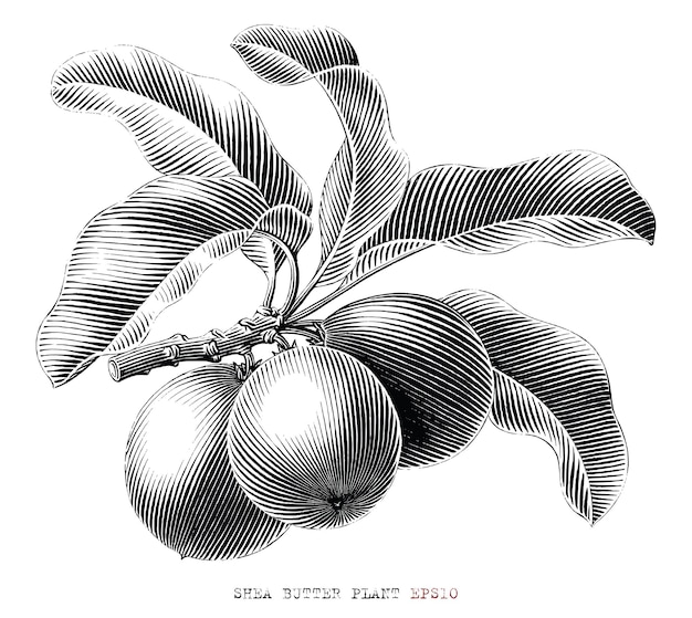 Shea butter tak hand getekend vintage gravure stijl zwart-wit illustraties geïsoleerd op een witte achtergrond