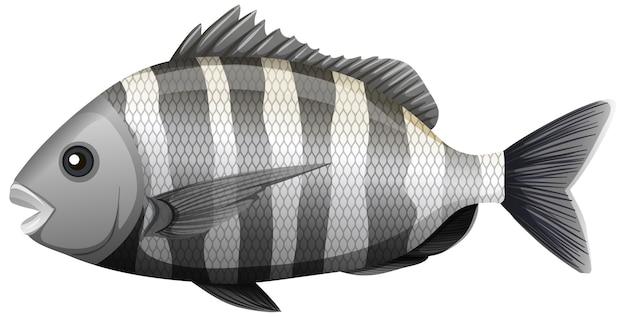 Sheepshead vis in cartoon-stijl op witte achtergrond