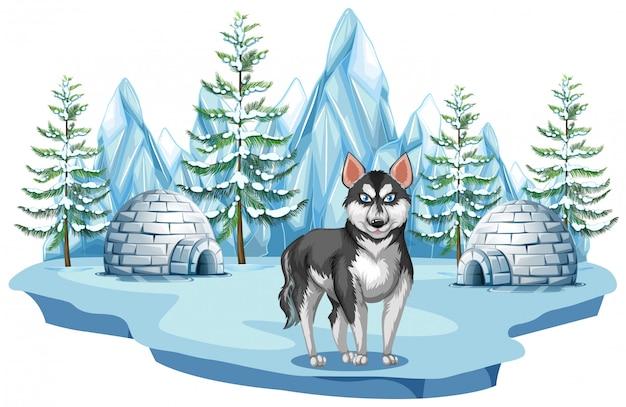 Siberische husky hond in het noordpoolgebied