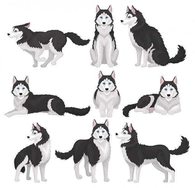 Siberische husky set, witte en zwarte rashond dier in verschillende poses illustratie op een witte achtergrond