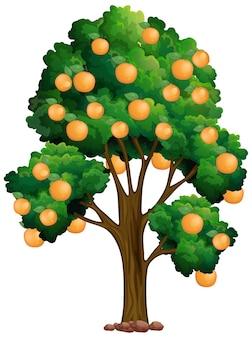 Sinaasappelboom die op wit wordt geïsoleerd