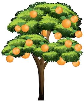 Sinaasappelboom die op witte achtergrond wordt geïsoleerd
