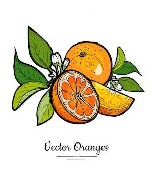 Sinaasappelen instellen vector geïsoleerd. hele half gesneden sinaasappel, plakjes, bladeren van bloemen.