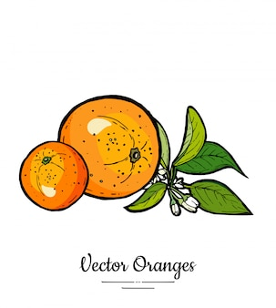 Sinaasappelen instellen vector geïsoleerd. hele oranje mandarijn, plakjes, bloemenbladeren.