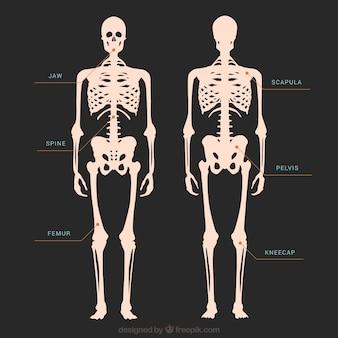 Skelet illustratie