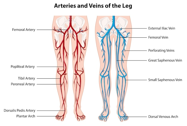 Slagaders en aders van het been