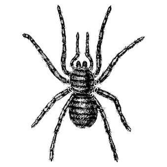 Spin of spinachtige soort, gevaarlijkste insecten ter wereld, oude vintage voor halloween of fobie. handgetekende, gegraveerd kan gebruiken voor tatoeage, web en gif zwarte weduwe, tarantula, birdeater