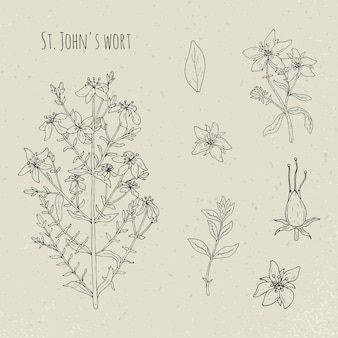 St. janskruid medische botanische geïsoleerde illustratie