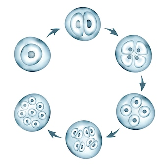 Stadia van circulair schema voor menselijke embryonale ontwikkeling