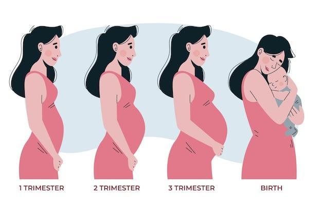 Stadia van de zwangerschap