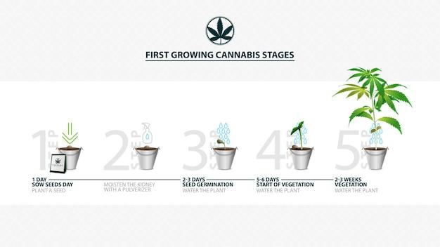 Stadia van het ontkiemen van cannabiszaden van zaadje tot spruit, het groeiseizoen van cannabis