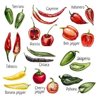 Stel hele en halve verschillende peper in. cayenne, kers, chilaca, poblano, rocoto, serrano, tabasco, bel, jalapeno, habanero. vector vintage uitbroeden kleur illustratie geïsoleerd op wit