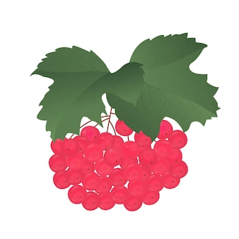 Stelletje rijpe rode viburnum met bladeren.