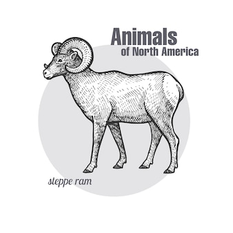 Steppe ram. animals of north america-serie.
