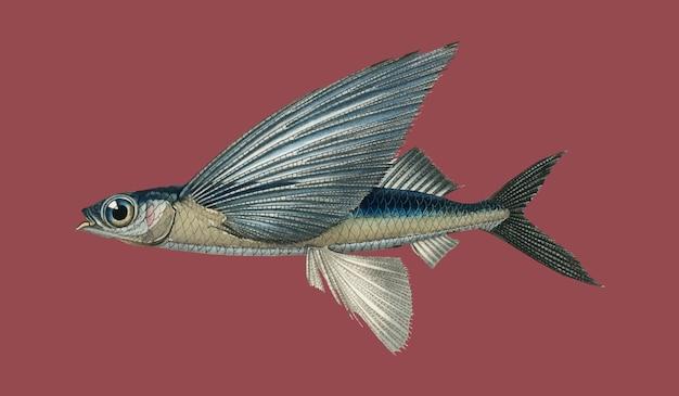 Stropische vliegende vis met twee vleugels (exocoetus volitan) geïllustreerd door charles dessalines d'orbigny (1806)