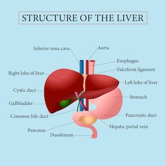 Structuur van de lever.