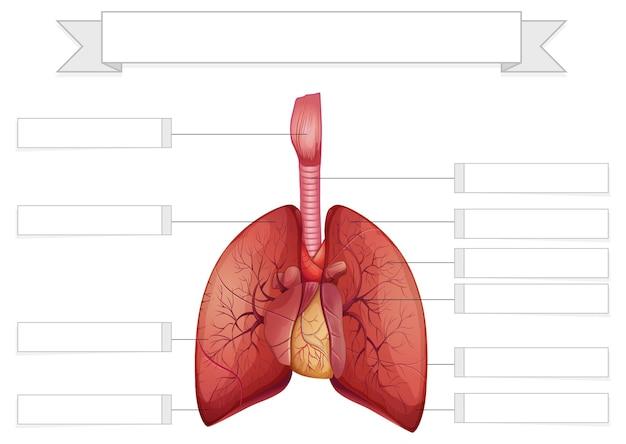 Structuur van de longen werkbladsjabloon