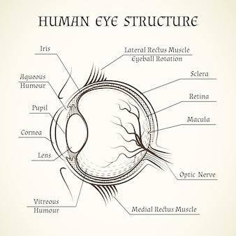 Structuur van het menselijk oog.