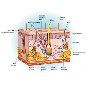 Structuur van menselijke huidcellen