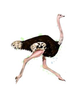 Struisvogel van een scheutje aquarel gekleurde tekening realistisch vectorillustratie van verf