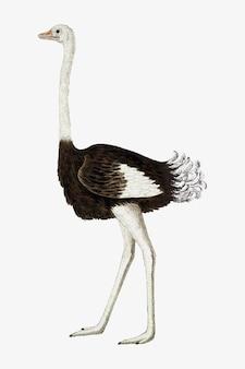 Struisvogel vector antieke aquarel dierlijke illustratie, geremixt van de kunstwerken van robert jacob gordon