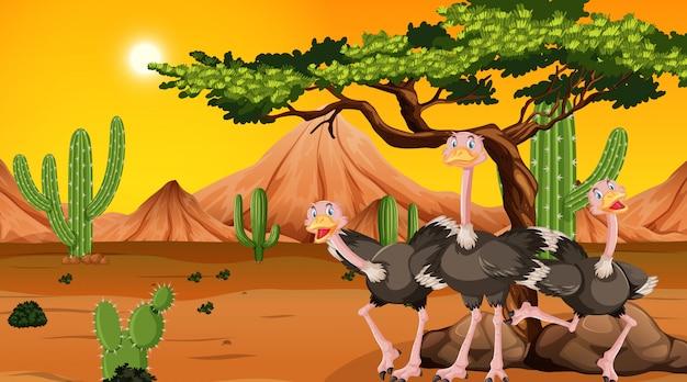 Struisvogels in de woestijnscène