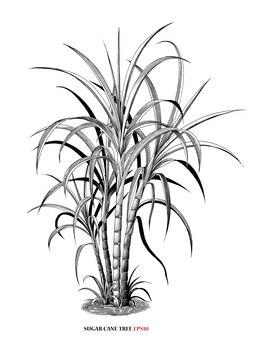 Suikerriet boom botanische illustratie vintage gravure stijl zwart-wit clipart geïsoleerd