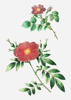 Sweetbriar rose en virginia rose plant