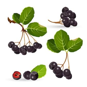 Takken van aronia met groene bladeren op wit. illustraties van zwarte stikken bessen en gescheiden stapel met de helft van één. appelbessen gekweekt als sierplant en als voedingsproduct