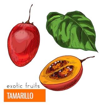 Tamarillo. kleur vectorillustratie.