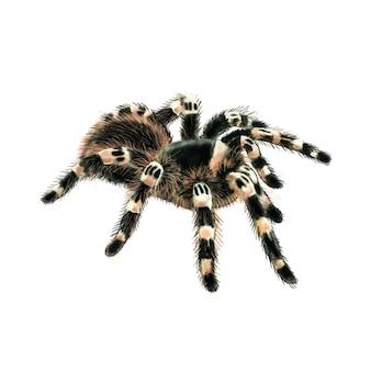 Tarantula spin