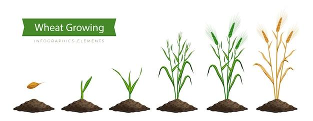Tarwe groeiproces, stap voor stap