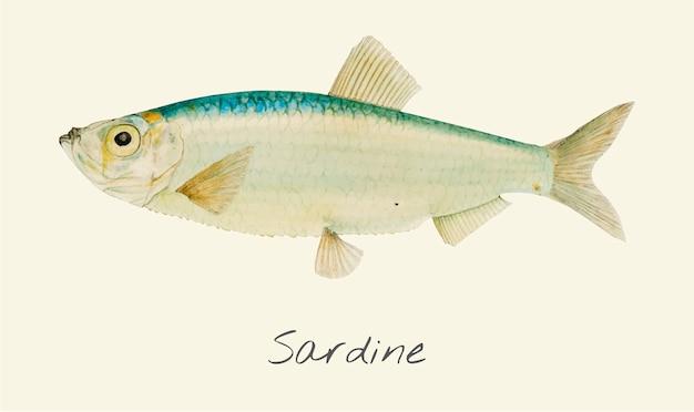 Tekening van een sardine