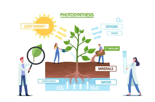 Tiny scientists-personages bij fotosynthese infographics presenteren veranderingen zonlicht in chemische energie, splitst water om zuurstof vrij te maken, kooldioxide in suiker. cartoon mensen vectorillustratie