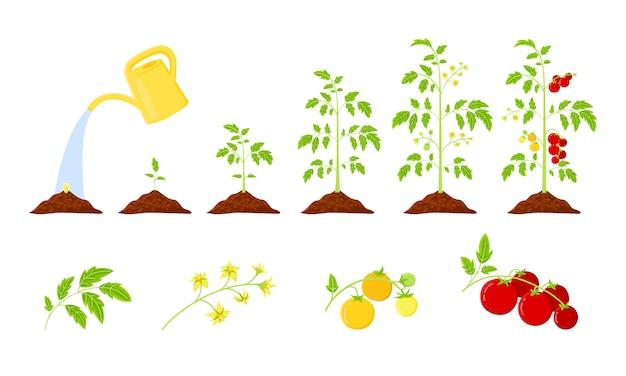 Tomatenplant groeifasen van zaad tot rijpende rode tomaat. tomaten groei infographics. levenscyclus plantaardige plant.