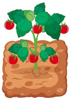 Tomatenplant op de grond