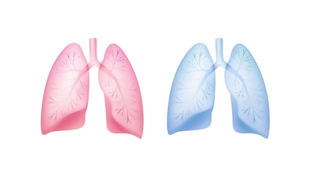 Transparant roze, blauw gezonde longen met luchtpijp en bronchiën close-up vooraanzicht