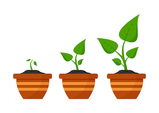 Tuinieren. fasen plant groeit. zaden ontkiemen in bloempot.