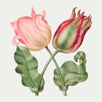 Tulp lente bloem botanische vintage illustratie