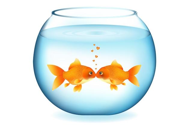 Twee goudvissen kussen in aquarium, op wit wordt geã¯soleerd