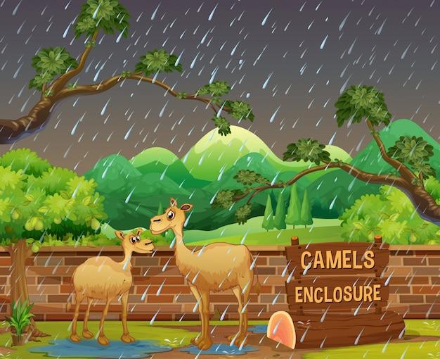 Twee kamelen in de dierentuin op rainny dag